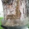 Ecopiege, trampa para la procesionaria del pino